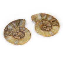 Ammoniten poliert